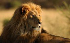 The Royal Bengal Tiger of Incredible India