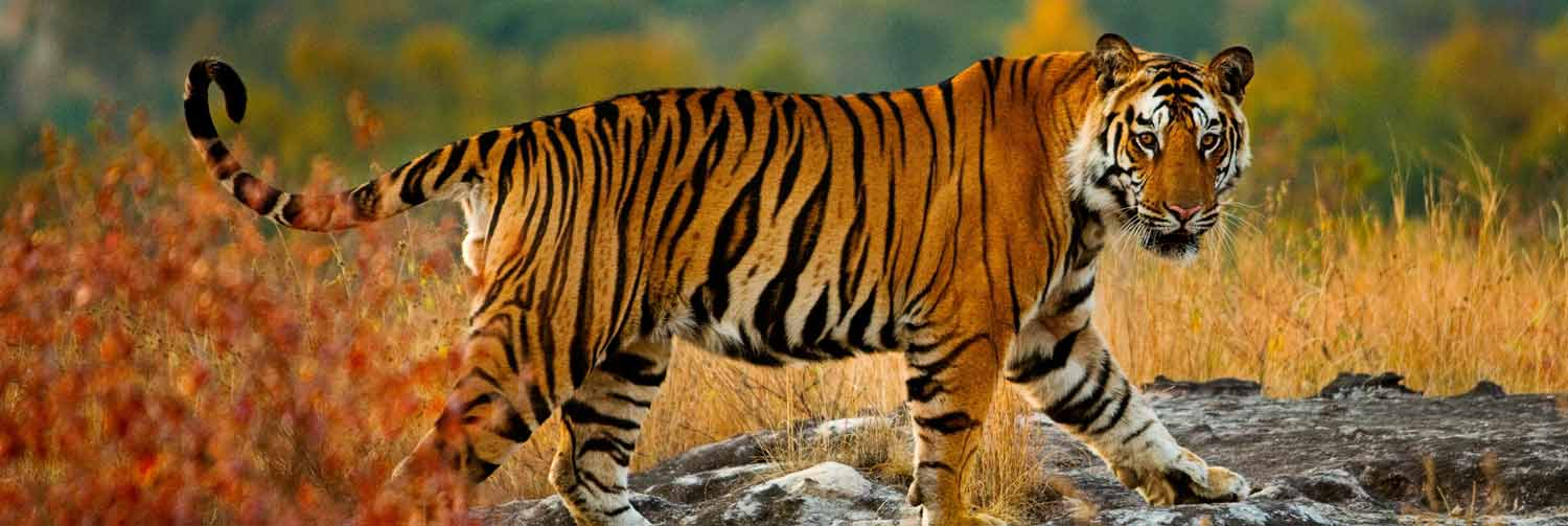 Tiger - National Animal of India